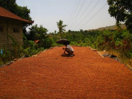 Clous de girofle au séchage (Bali)