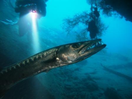 Barracuda sur le Liberty (Tulamben)