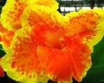 Hibiscus (Water Palace - Bali)