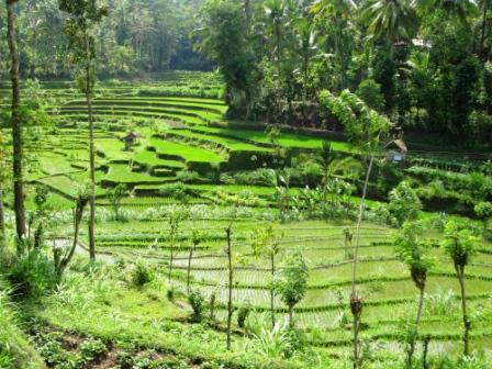 Rizières (Bali)