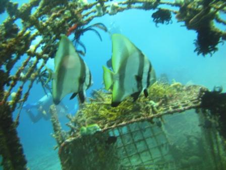 Platax sur récifs artificiels ( Tanjune Jepan - Bali)