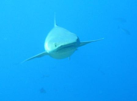 Requin pointe blanche sur Gili Islands
