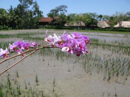 Orchidée sur fond de rizière