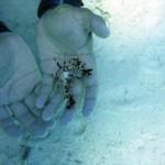 Crabe araignée - Mexique 11 08
