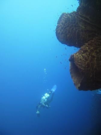 Eponges barriques géantes (Taka Bonerate)