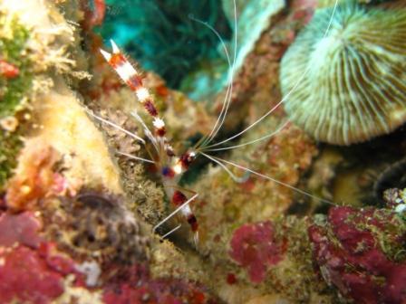 Crevettes Boxer - Wakatobi