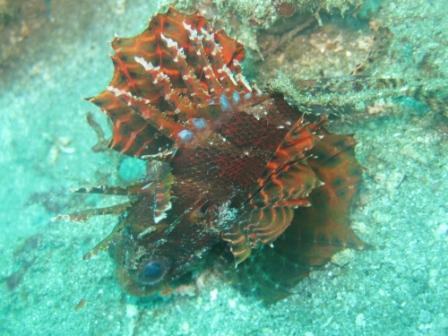Rascasse Dindon (port de Ambon - Molluques)