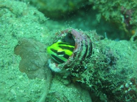 Gobie dans sa bouteille (port de Ambon - Molluques)