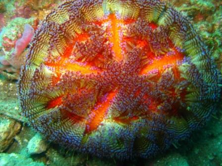Oursin de feu (port de Ambon - Molluques)