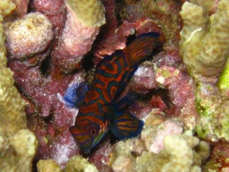 Poisson Mandarin (plongée de nuit Bunaken)
