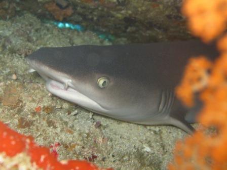 Requin pointe blanche (Bangka - Sulawesie)