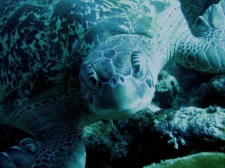 Rencontre avec une tortue (Likuan I - Bunaken, Sulawesie)