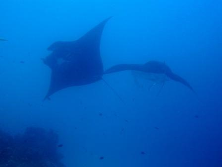 Ballet sous-marin (Manta cleaning - Raja Ampat)