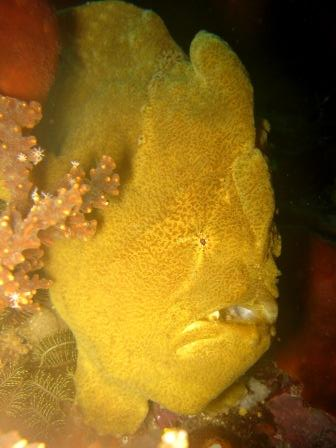 Frog fish (Batu Maudi - Lembeh)