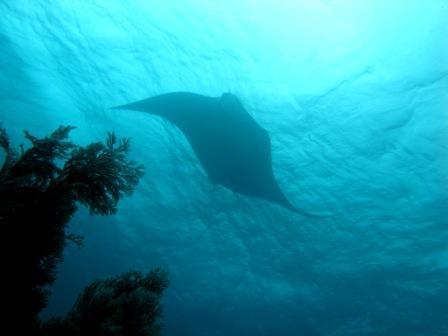 03 12 - Raie Mantas (Sardines - Raja Ampat)