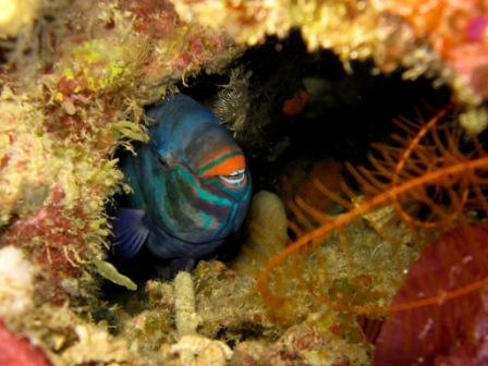 05 12 - Perroquet dans son trou - Cela Cela ( Bunaken - Sulawesie)