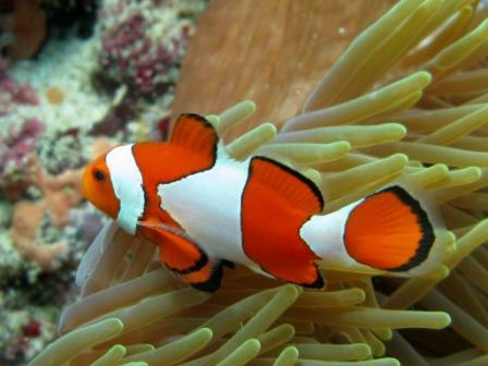 Poisson-clown (Raymond's - Bunaken)
