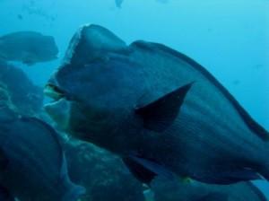 Un vrai bison sous la mer!