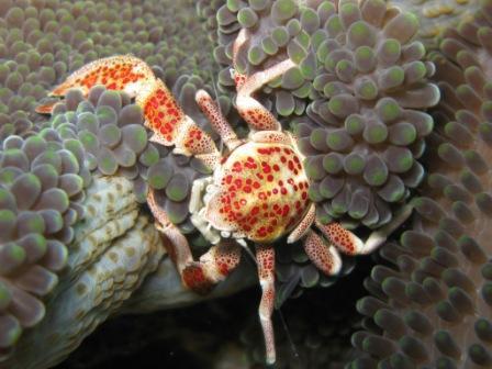 Crabe porcelaine (détroit de Lembeh)