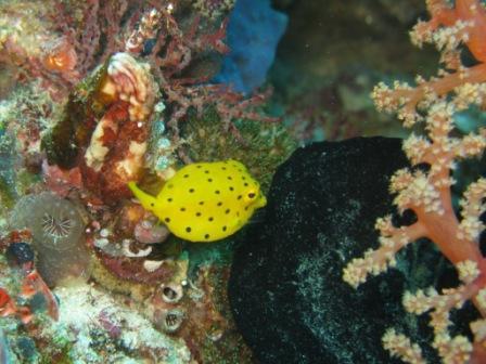 Poisson coffre juvénil (Mios Kon - Raja Ampat)