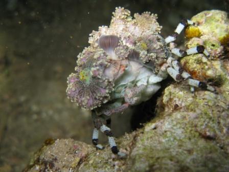 Caché sous son anémone, le crabe se sent à l'abri