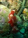 Ceratosoma tenue (Ambon - Molluques)
