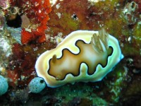 Chromodoris Coi (Bird Hall - Raja Ampat)