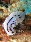Chromodoris Willani (Tamagui Sea Mount - Wakatobi - Sulawesi Sud
