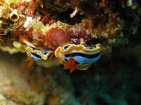 Chromodoris sp 24 (Chicken's Reef - Raja Ampat)