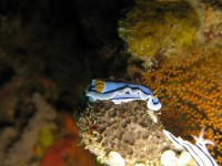 Chromodoris sp 30 (Cape Kri - Raja Ampat)