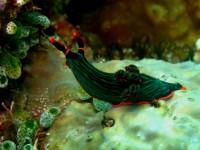 Nembrotha Kubryana (Lembeh - Nord Sulawesi)