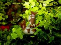 Nembrotha Rutilans - (Tamagui Sea Mount - Raja Ampat)