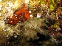 Pseudobiceros sp. (à vérifier) Bunaken