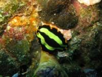 Pseudoceros dimidiatus - (Mioskan - Raja Ampat)