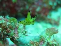 Thecacera sp6 - (Taka Bonerate - Sulawesi Sud)