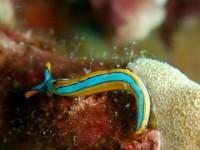Thuridilla lineolata - (Mikes Point - Bunaken Nord Sulawesi)